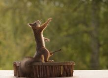 Squirrel with blurry hands and guitar. Red squirrel with blurry hands and a guitar Stock Image