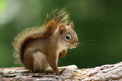 Red Squirrel on a Branch Stock Images