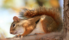 Red Squirrel on Branch Royalty Free Stock Photo