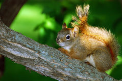 Red Squirrel on Branch. A red squirrel pauses on a branch to look at the viewer Royalty Free Stock Photos