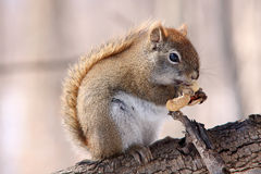 Red squirrel on branch Royalty Free Stock Images