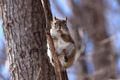 Red squirrel on branch Royalty Free Stock Photos