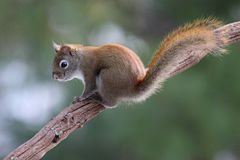 Red Squirrel on a Branch Stock Image