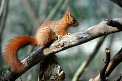 Red squirrel on branch tree Stock Images