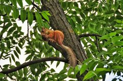 Red squirrel on a branch tree Stock Photo
