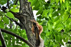 Red squirrel on a branch tree Royalty Free Stock Photo