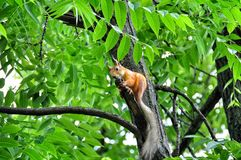Red squirrel on a branch tree Royalty Free Stock Photography