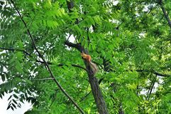Red squirrel on a branch tree Royalty Free Stock Images