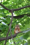 Red squirrel in the branches of a green tree royalty free stock image