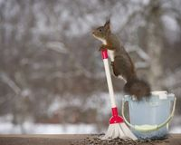 Red squirrel on a bucket with a brush. Red squirrel is on a bucket with a brush Stock Photos