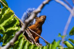 Red squirrel with a bushy gray tail Royalty Free Stock Images