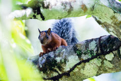 Red squirrel with a bushy gray tail Stock Images