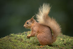 Red Squirrel with Bushy Tail. Stock Image