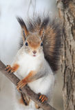Red squirrel with a bushy tail sits on tree and eats nuts in the snow Stock Photos