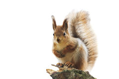 Red squirrel with bushy tail standing on white isolated background Stock Photos
