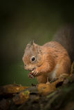 Red Squirrel caching hazel nuts. This Red squirrel has carried two hazel nuts in its mouth and is about to cache them under the leaf litter at the base of a Stock Photography