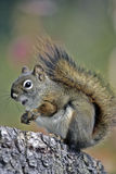 Red Squirrel calling Stock Photos