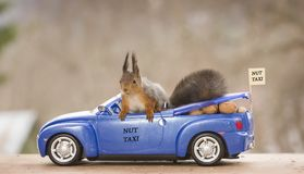 Red squirrel in an car with nuts Royalty Free Stock Image