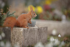 Red squirrel in a cemetery. A red squirrel steals a hazel nut stashed in an old grave stock photos