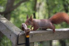 Red squirrel checking out walking stick. Stock Images