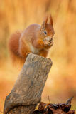 Red squirrel chewing on an acorn Royalty Free Stock Photo