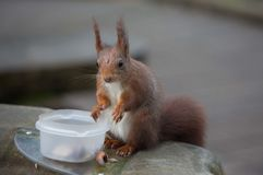 Red squirrel choosing nuts from a container. Stock Photos