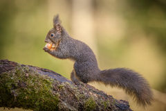 Red squirrel classic pose Royalty Free Stock Images