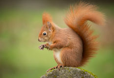 Red squirrel classic pose Stock Photos