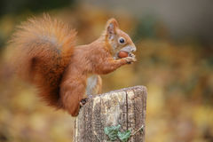 Red squirrel in classic pose Royalty Free Stock Photo