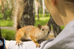 Red squirrel climbed onto the girl's hand Royalty Free Stock Photography