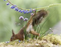 Red squirrel is climbing down from a lupine Stock Images