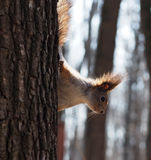 Red squirrel climbing at tree Royalty Free Stock Photos