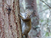 Red squirrel climbing a tree Royalty Free Stock Photos