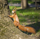 Red Squirrel climbing in a tree Royalty Free Stock Photography