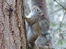 Red squirrel climbing a tree Royalty Free Stock Images