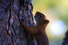 Red Squirrel climbing tree Royalty Free Stock Photo