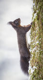 Red squirrel climbing a tree in winter Stock Image