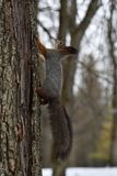 Red Squirrel climbing up on a tree Royalty Free Stock Photography