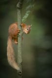 Red Squirrel climbing. Stock Photography