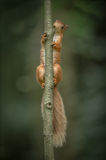 Red Squirrel climbing. Royalty Free Stock Image