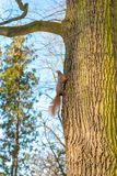 The red squirrel climbs a tree. In Łazienki Park in Warsaw. A beautiful sunny autumn day Stock Photo