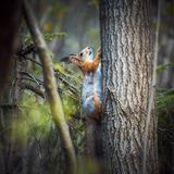 Red squirrel climbs a tree in the forest on a green background. Grey orange fur. A small rodent with fluffy tail. Spring stock photos