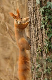 Red squirrel clinging to a tree