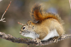 Red Squirrel. A red squirrel clings to a branch in the woods royalty free stock image