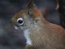 Red squirrel close Stock Images