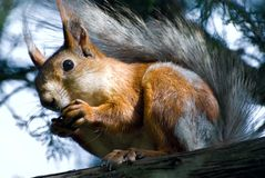 Red squirrel  close up Royalty Free Stock Photo