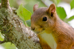 Red squirrel close up Stock Photography