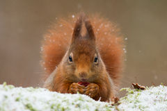 Red squirrel close-up. Red squirrel in the snow in the netherlands Stock Image