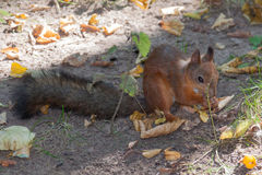 Red squirrel close up Royalty Free Stock Image