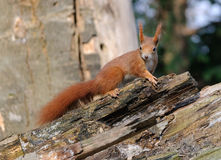 Red Squirrel close up Royalty Free Stock Photography